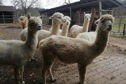 Die Steinachtal-Alpakas -  ein Ausflugstipp für die ganze Familie!